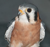 • Location - Audubon Center For Birds of Prey in Maitland<br /> • American Kestrel