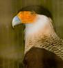 • Location - Audubon Center For Birds of Prey in Maitland<br /> • Crested Carcara