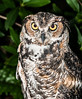 • Location - Audubon Center For Birds of Prey in Maitland<br /> • Great Horned Owl