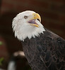• Location - Audubon Center For Birds of Prey in Maitland<br /> • Bald Eagle