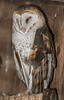 • Location - Audubon Center For Birds of Prey in Maitland<br /> • Barn Owl