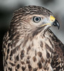 • Location - Audubon Center For Birds of Prey in Maitland<br /> • Red-shouldered Hawk