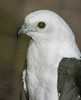 • Location - Audubon Center For Birds of Prey in Maitland<br /> • Swallow-Tailed Kite