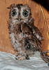 • Location - Audubon Center For Birds of Prey in Maitland<br /> • Screech Owl