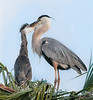 • Location - Viera Wetlands<br /> • Great Blue Heron- What are you doing?????