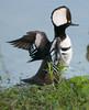 • Location - Viera Wetlands<br /> • Male Hooded Merganser- Let's fly like the wind!!!!