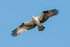 • Location - Viera Wetlands<br /> • Osprey- I can fly!!