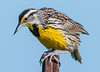 • Location - Moccasin Tract island<br /> • Yellow Meadowlark- How's the weather down there?