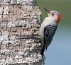 • Location - Viera Wetlands<br /> • Red- bellied Woodpecker- This wood looks yummy!