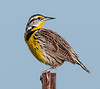 • Location - Moccasin Tract island<br /> • Yellow Meadowlark- What are you looking at, buddy?