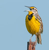 • Location - Moccasin Tract island<br /> • Yellow Meadowlark- Hello? Where is my mate!!!!????