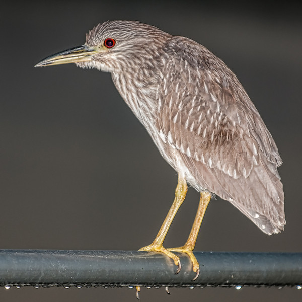 • Location - Dan's Click Pond<br /> • Juvenile Black- Crowned Night Heron- At sunrise