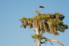 Yep, that is an Osprey on top of the Cypress Tree