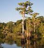 Cypress trees sitting in Blue Cypress Lake