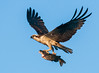 An Osprey in flight with a fish