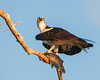 The Osprey is just taking a rest before its takes the fish to its nest for the chicks to eat.