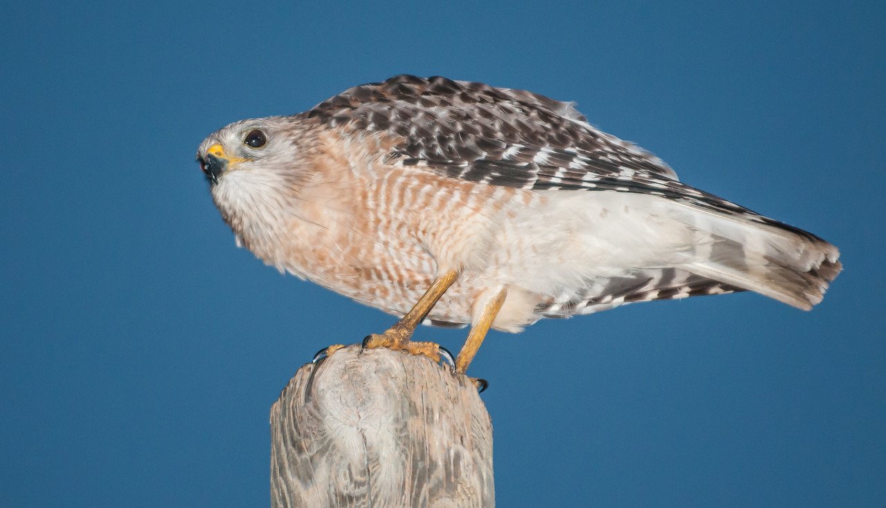 Red-shouldered Hawk staring me down from the top of a power pole