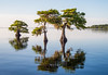 Trio of Cypress trees sitting in Blue Cypress Lake