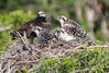 Three Osprey chicks with one of its parent in their nest.
