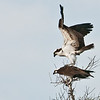 The Osprey are starting the mating ritual.