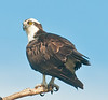 Just a nice pose of an Osprey