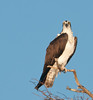 • Location - Blue Cypress Lake Vero Beach, Florida<br /> • Osprey - I have my eyes on you