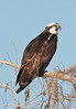 • Location - Blue Cypress Lake Vero Beach, Florida<br /> • Osprey - Calling for his mate