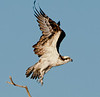 • Location - Blue Cypress Lake Vero Beach, Florida<br /> • Osprey just taking off