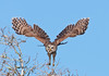 • Location - Blue Cypress Lake Vero Beach, Florida<br /> • Barred Owl just taking off from its perch