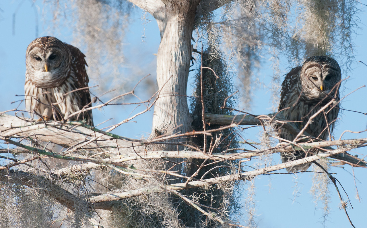 • Location - Blue Cypress Lake Vero Beach, Florida<br /> • A pair of Barred Owls