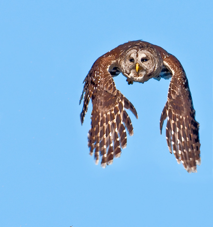 • Location - Blue Cypress Lake Vero Beach, Florida<br /> • Barred Owl in flight