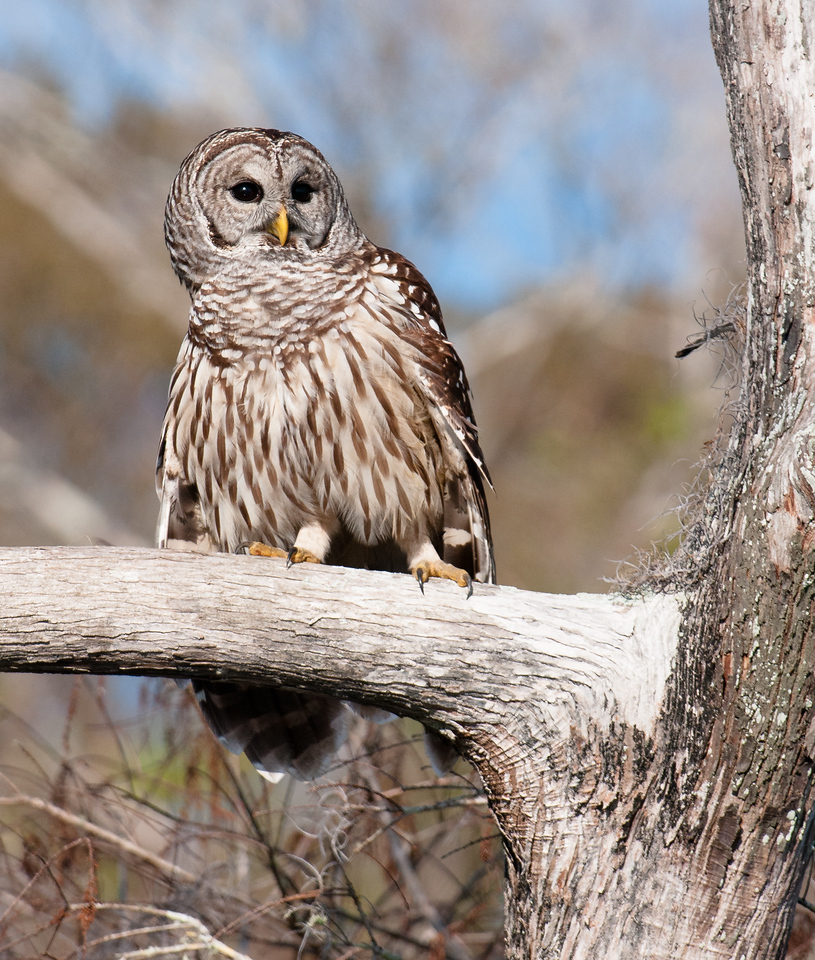 • Location - Blue Cypress Lake Vero Beach, Florida<br /> • Barred Owl hanging out in a tree close to where we were located