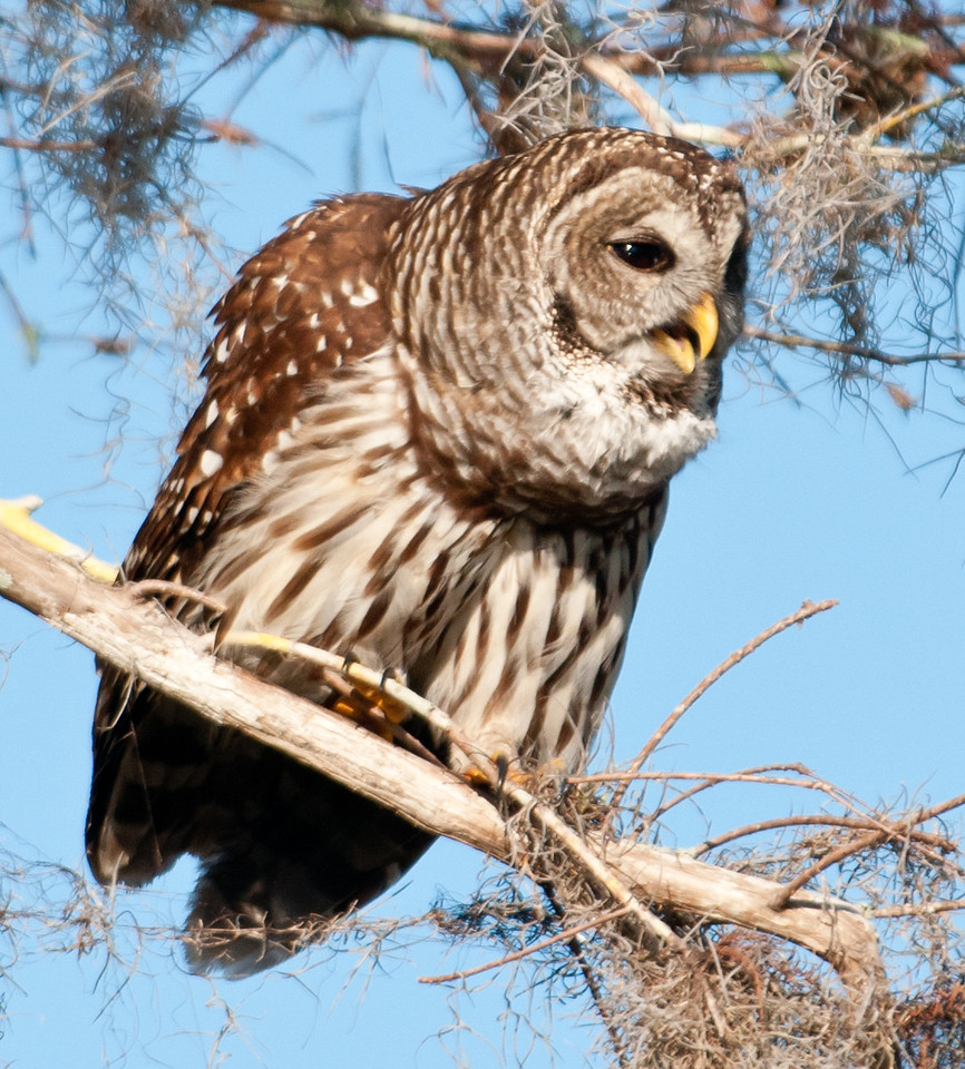 • Location - Blue Cypress Lake Vero Beach, Florida<br /> • Barred Owl calling for its mate