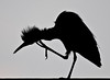 • Location - Blue Cypress Lake Vero Beach, Florida<br /> • Silhouette of a Snowy Egret scratching itself
