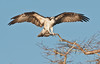 • Location - Blue Cypress Lake Vero Beach, Florida<br /> • Osprey coming in for a landing