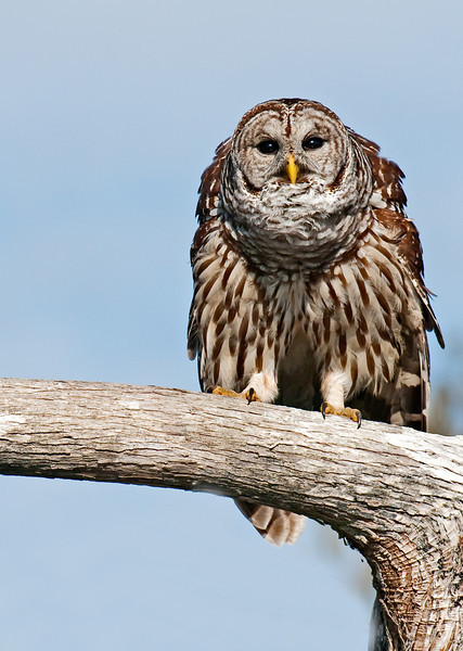 • Location - Blue Cypress Lake Vero Beach, Florida<br /> • Barred owl seeing what we are doing