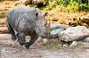 White Rhinoceros going for run