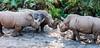 The trio of White Rhinoceros