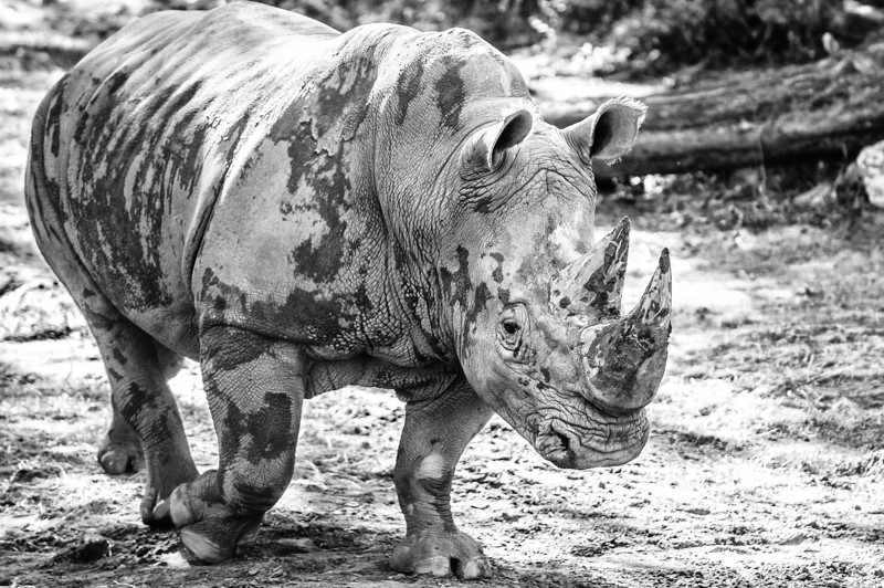 White Rhinoceros taking a walk