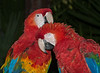 A pair of Macaws - That preening feels so good!