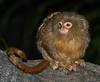 Lion Tamarin Pygmy - Marmoset