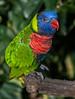 A colorful Lorikeet