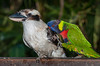 The Kookaburra is getting upset with the Lorikeet being on its back