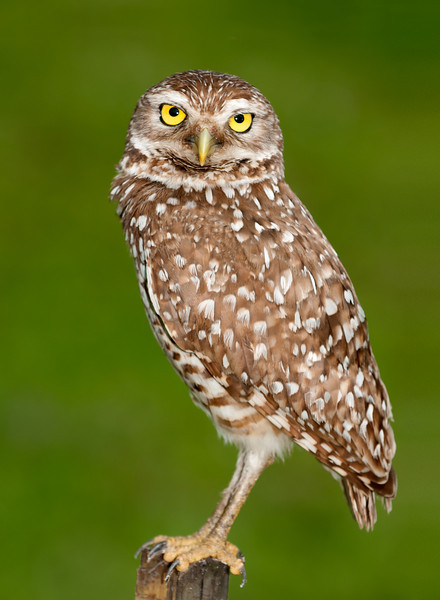 Nice pose of Burrowing owl