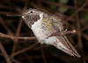 • Location - Butterfly World<br /> • Broad-tailed Hummingbird