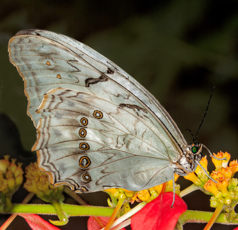 • Location - Butterfly World<br /> • Morpho Polyphemus Butterfly