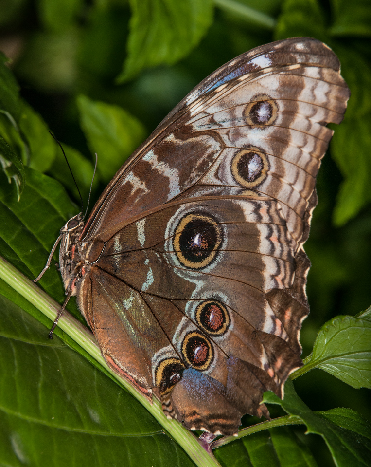• Location - Butterfly World<br /> • Blue Morpho Butterfly