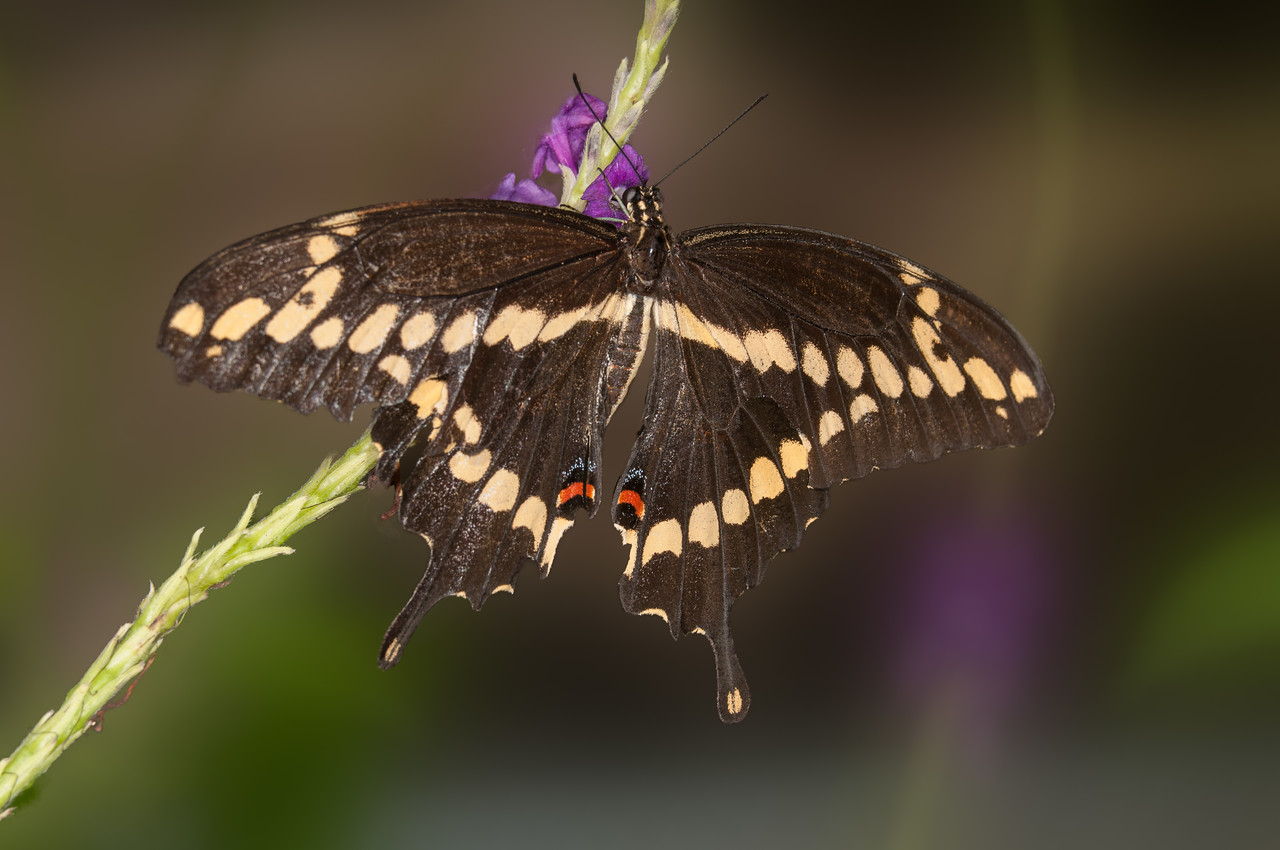 • Location - Butterfly World<br /> • Giant Swallowtail Butterfly