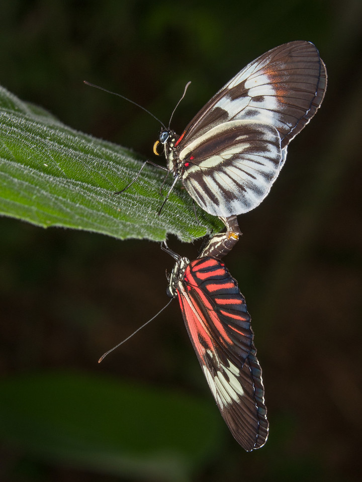 • Location - Butterfly World<br /> • Heliconius Melpomene Madiera Butterfly Pairing