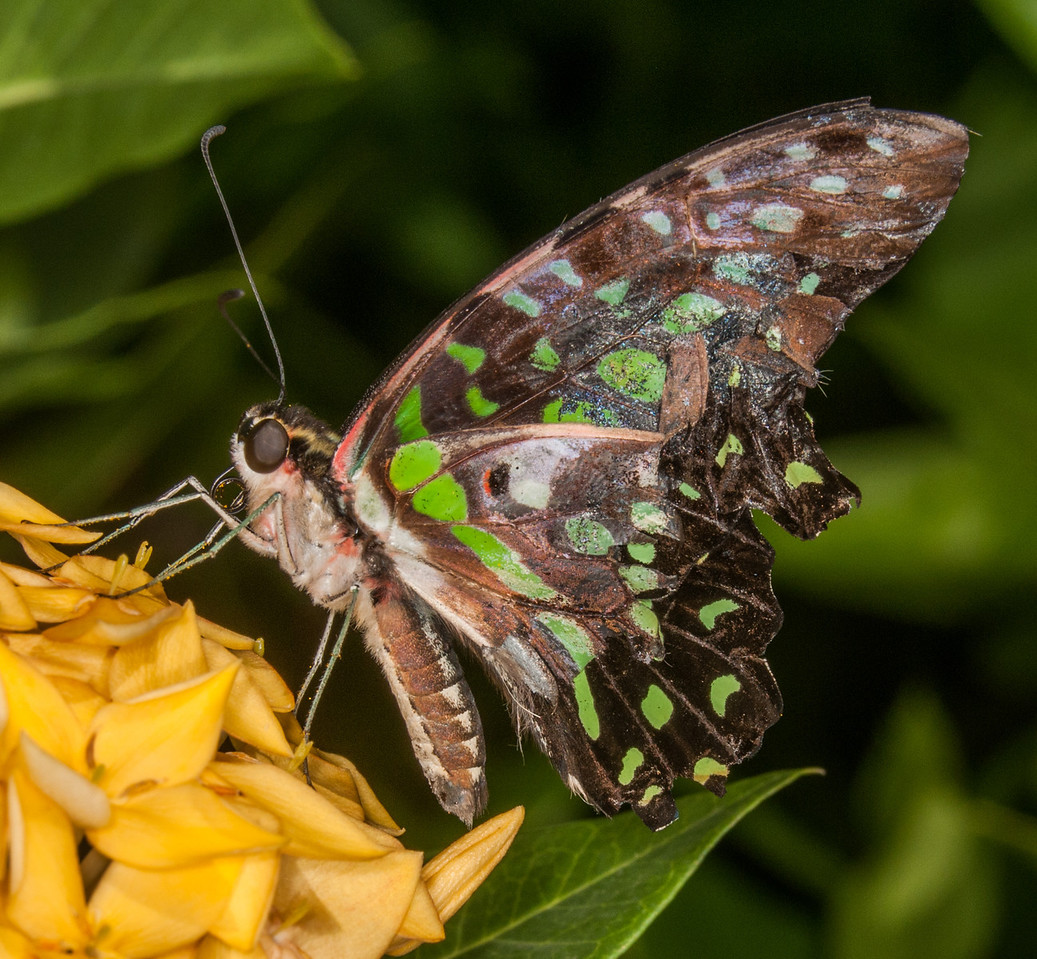 • Location - Butterfly World<br /> • Malachite butterfly
